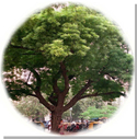Neem_tree_blog_2