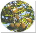 Neem_fruit_5