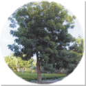 Neem_tree2_blog